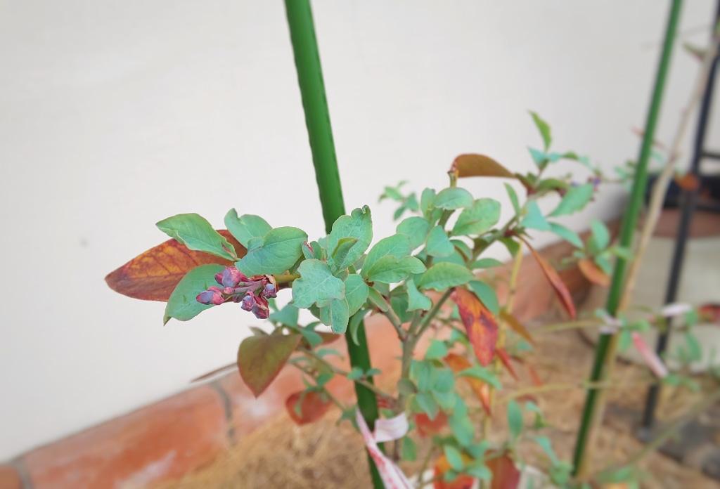 トリチウムって何? ブルーベリーの花が咲きそうです...