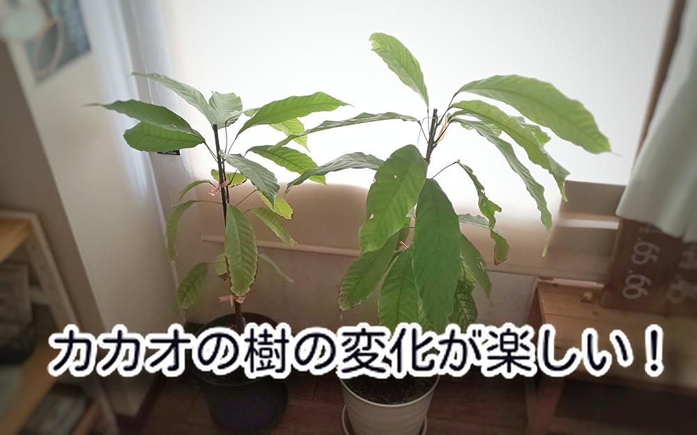 明かりははっきりと見え始めている・・・どこ?【カカオ】の樹は確実に成長しています...
